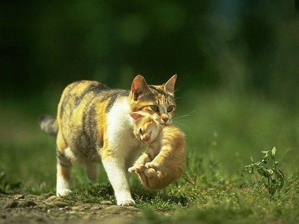 Кошки переносят своих котят, схватив их за холку
