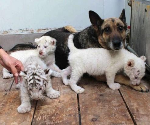 Белые тигры и выкормившая их собака