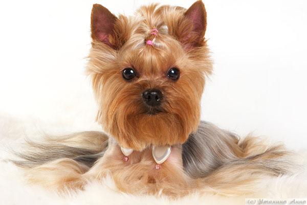 Photo album for yorkshire terrier mini shop tamagochi