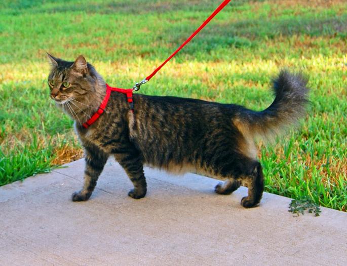 Выводим кошку на прогулку