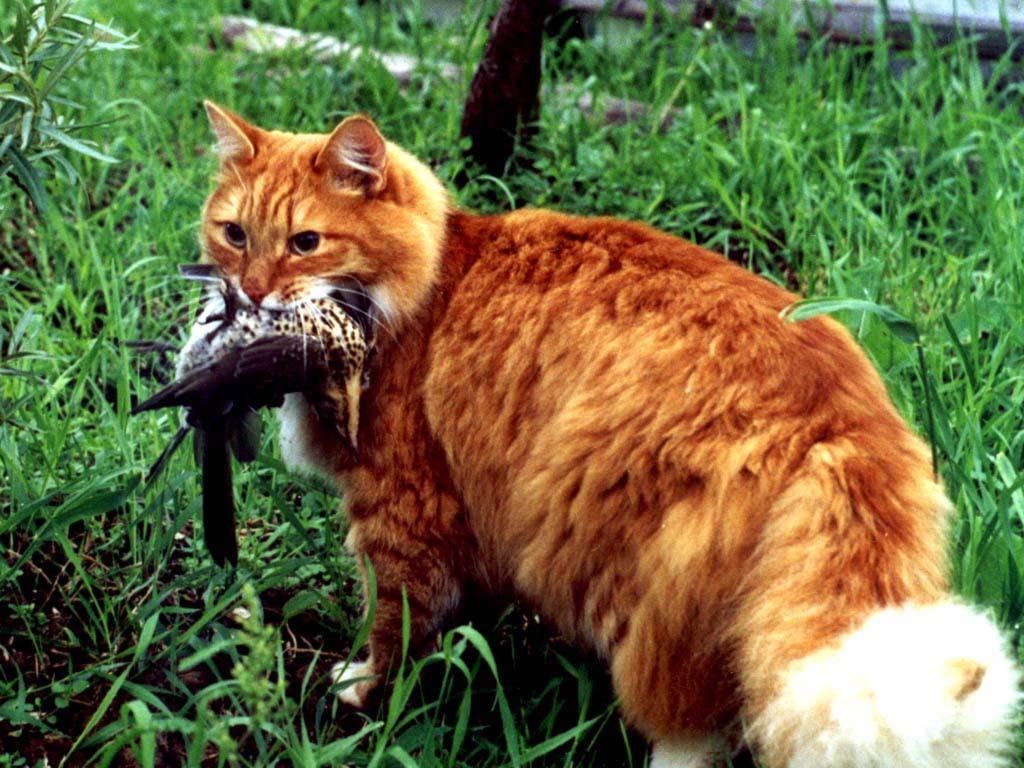 Охотничьи повадки кошки